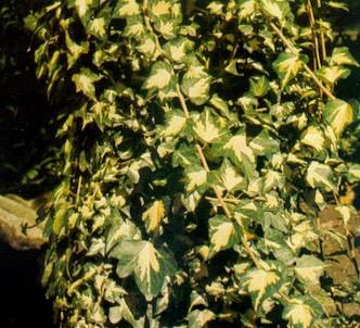 Fotografía de la planta Hiedra