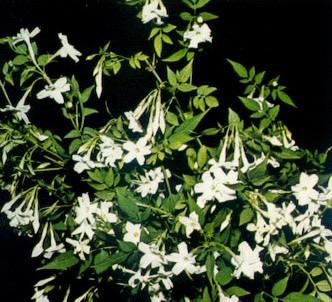 Fotografía de la planta Jazmín común
