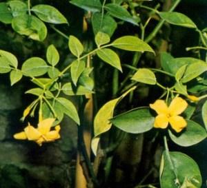 Jazmín amarillo