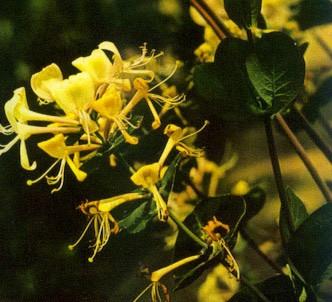 Fotografía de la planta Madreselva