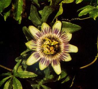 Fotografía de la planta Pasionaria ó Flor de la Pasión