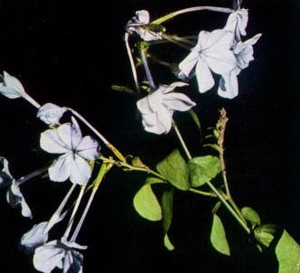 Fotografía de la planta Jazmín azul - Plumbago