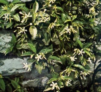 Fotografía de la planta Trachelospermo