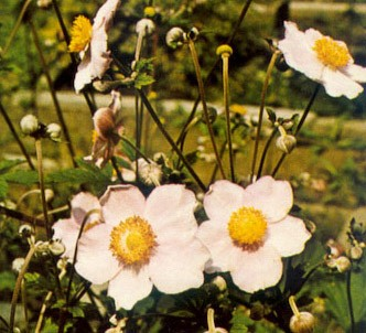 Fotografía de la planta Anémona japonesa