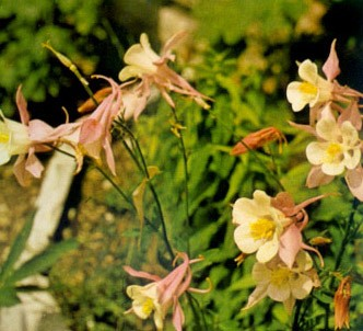 Fotografía de la planta Aguileña