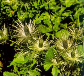 Fotografía de la planta Eringio alpino