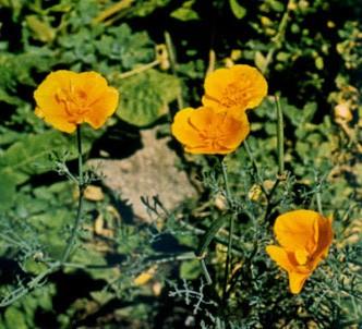 Fotografía de la planta Amapola de california