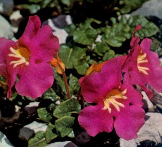 Fotografía de la planta Incarvillea