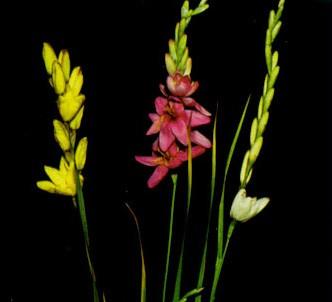 Fotografía de la planta Ixia