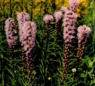 Fotografía de la planta Liátride