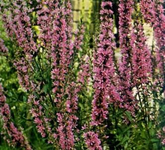 Fotografía de la planta Salicaria - Fraile
