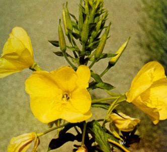 Fotografía de la planta Hierba del asno