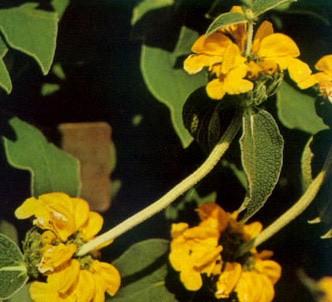 Fotografía de la planta Oreja de liebre