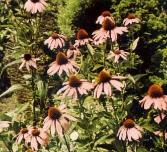 Fotografía de la planta Rudbeckia rosa