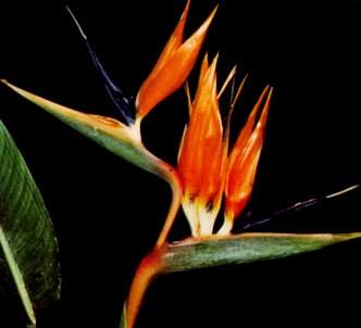 Fotografía de la planta Estrilicia - Flor ave del paraiso