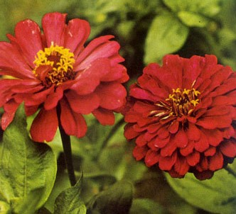Fotografía de la planta Zinia