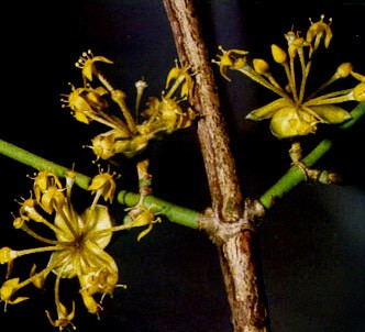 Fotografía de la planta Cornejo macho