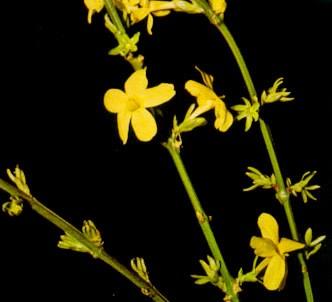 Fotografía de la planta Jazmin de San José