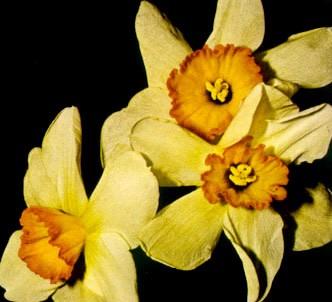 Fotografía de la planta Narciso
