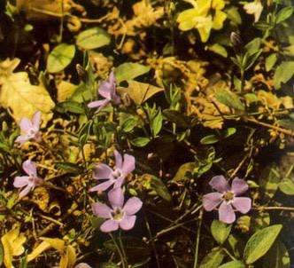 Fotografía de la planta Vincapervinca