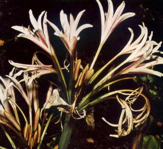 Fotografía de la planta Amarilis de hojas largas