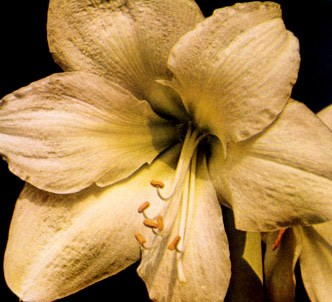 Fotografía de la planta Amarilis