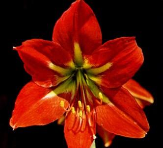 Fotografía de la planta Amarilis escarlata