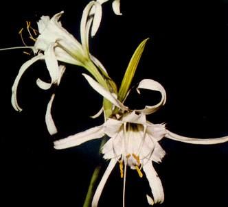 Fotografía de la planta Himenocalis