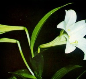 Lirio de flores largas