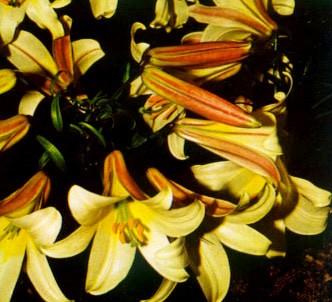 Fotografía de la planta Lirio real