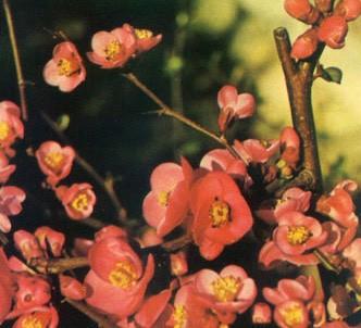 Fotografía de la planta Membrillero japonés