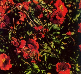 Fotografía de la planta Geum de chile