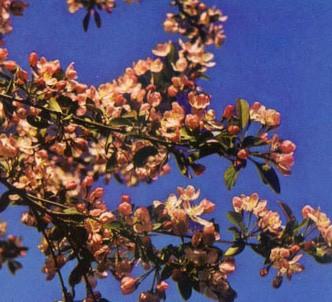 Fotografía de la planta Manzano rosa