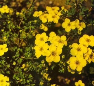 Fotografía de la planta Potentilla arbustiva