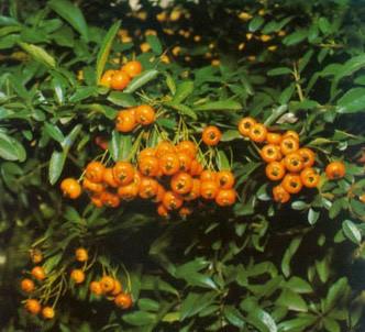 Fotografía de la planta Espino de fuego