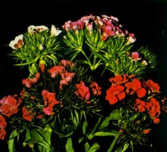 Fotografía de la planta Minutisa
