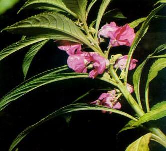 Fotografía de la planta Balsamina - Miramelindos