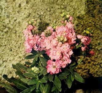 Fotografía de la planta Alhelí cuarenteno