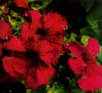 Fotografía de la planta Petunia