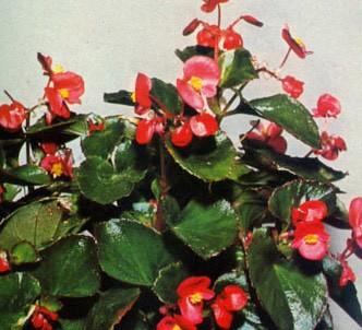 Fotografía de la planta Hermosa
