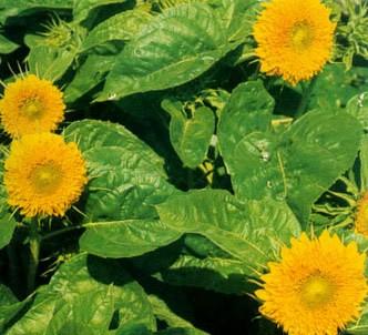 Fotografía de la planta Girasol enano