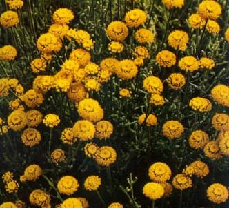 Fotografía de la planta Abrótamo hembra