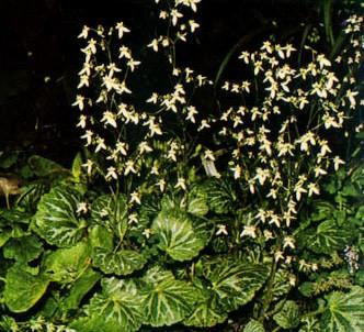 Fotografía de la planta Saxifraga