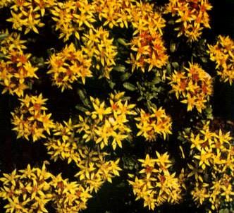 Fotografía de la planta Sedo