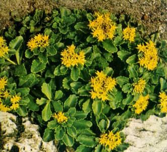 Fotografía de la planta Sedo de kamtschatka