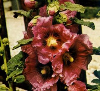 Fotografía de la planta Malva real