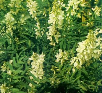 Fotografía de la planta Galega - Ruda cabruna