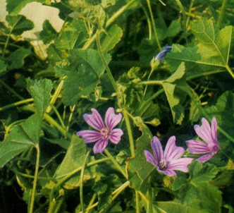 Fotografía de la planta Malva