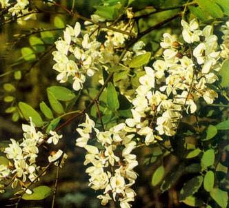 Fotografía de la planta Acacia P.