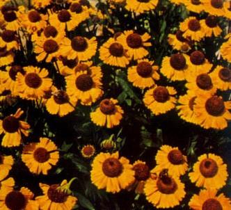 Fotografía de la planta Helenio